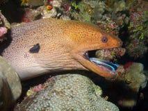 Gigante Moray Eel & labro comune del pulitore Immagini Stock