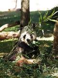 Gigante Panda Bear imagem de stock