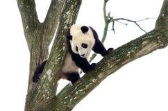 Gigante Panda Climbing uma árvore, Szechuan, China fotografia de stock