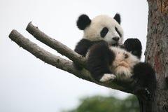 Gigante Panda Cub Fotografia Stock Libera da Diritti