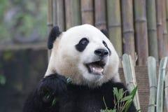 Gigante Panda Cub en la base de la panda de Dujiangyan, China Fotografía de archivo libre de regalías