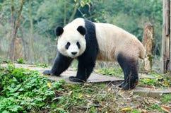 Gigante Panda Look Back Pose, Chengdu, Szechuan, Cina Immagini Stock