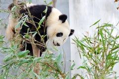 Gigante Panda Sitting en el árbol Fotografía de archivo libre de regalías