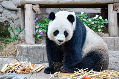 Gigante Panda Sitting en una tierra Imágenes de archivo libres de regalías