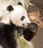 Gigante posto em perigo Panda Eating Bamboo Stalk imagem de stock royalty free
