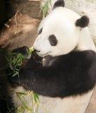 Gigante posto em perigo Panda Eating Bamboo Stalk fotografia de stock royalty free