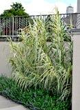 Gigante Reed Grass - donax del Arundo Imagen de archivo