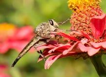 Gigante Robberfly Fotografía de archivo