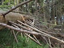 Gigante spruce inoperante Foto de Stock