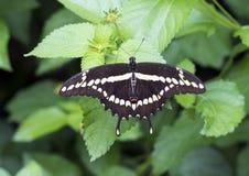 Gigante Swallowtail en una hoja Fotos de archivo
