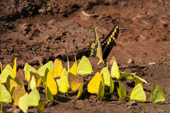 Gigante Swallowtail y mariposas de azufre que consiguen la sal de fango Imagenes de archivo