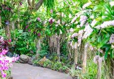 Gigantea орхидеи или Rhynchostylis Стоковое фото RF