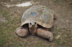 Gigantea Aldabrachelys гигантской черепахи Aldabra Стоковые Изображения