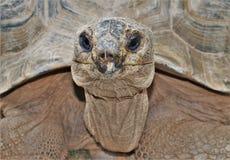 Gigantea Aldabrachelys гигантской черепахи Aldabra Стоковые Изображения RF