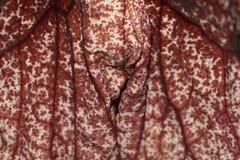 Gigantea Aristolochia στην Ιαπωνία Στοκ Εικόνες