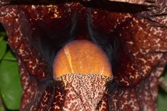 Gigantea Aristolochia στην Ιαπωνία Στοκ εικόνα με δικαίωμα ελεύθερης χρήσης