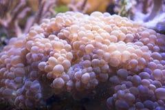 Gigantea Condylactis anemone θάλασσας υποβρύχιο στη θάλασσα Στοκ φωτογραφία με δικαίωμα ελεύθερης χρήσης
