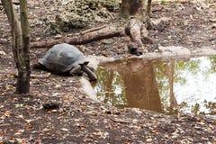 Gigantea de Aldabrachelys da tartaruga gigante de Aldabra imagem de stock