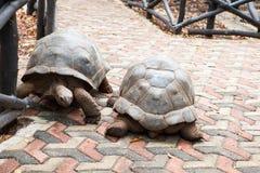 Gigantea de Aldabrachelys de la tortuga gigante de Aldabra imágenes de archivo libres de regalías