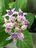 Gigantea de Calotropis, flor, natureza Imagem de Stock