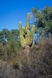 Gigantea do Carnegiea do cacto do Saguaro imagens de stock royalty free