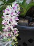 Giganterubrum de Rhynchostylis, orquídea Imagenes de archivo