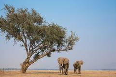 Gigantes africanos en busca de la comida foto de archivo