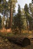 Gigantes da floresta Fotos de Stock