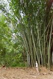 Gigantes de bambú, Peradeniya, Sri Lanka Fotos de archivo