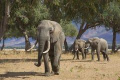 Gigantes de Zambezi Fotos de Stock