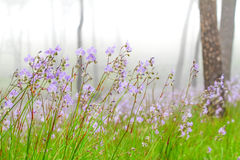 Giganteum de Murdannia, fleur pourpre thaïlandaise Photographie stock libre de droits