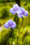Giganteum de Murdannia, fleur violette thaïlandaise en pleuvant la saison Image libre de droits
