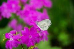 Giganteum dell'allium, fiore viola Fotografie Stock