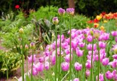 Giganteum púrpura hermoso del allium con los tulipanes en fondo fotos de archivo