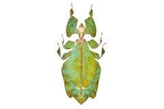 Giganteum verde del Phyllium del escarabajo aislado fotos de archivo