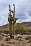 Giganteus Аризона cereus кактуса Saguaro Стоковое фото RF