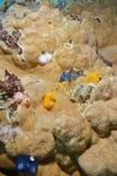 Giganteus de Spirobranchus dos sem-fins marinhos no coral Imagem de Stock Royalty Free
