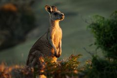 Giganteus del Macropus - Grey Kangaroo orientale in Tasmania in Australia, Maria Island, Tasmania, stante sul prato nella sera fotografia stock