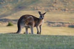 Giganteus do Macropus - Grey Kangaroo oriental foto de stock royalty free