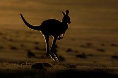 Giganteus do Macropus - Grey Kangaroo oriental fotografia de stock