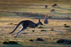 Giganteus do Macropus - Grey Kangaroo oriental fotos de stock