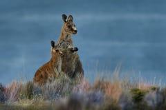 Giganteus do Macropus - Grey Kangaroo oriental em Tasmânia em Austrália fotos de stock
