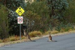 Giganteus do Macropus - Grey Kangaroo oriental em Tasmânia em Austrália, Maria Island, Tasmânia, cruzando a estrada com criança a fotografia de stock