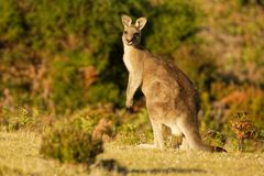 Giganteus do Macropus - Grey Kangaroo oriental em Tasmânia em Austrália, Maria Island, Tasmânia, estando no prado na noite fotografia de stock royalty free
