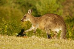 Giganteus do Macropus - Grey Kangaroo oriental em Tasmânia em Austrália, Maria Island, Tasmânia, estando no prado na noite foto de stock