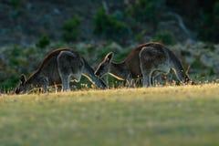 Giganteus Macropus - ανατολικό γκρίζο καγκουρό Στοκ Φωτογραφίες