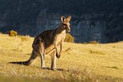 Giganteus Macropus - восточный серый кенгуру в Тасмании в Австралии, острове Марии, Тасмании, стоя на луге в вечере Стоковое Изображение RF