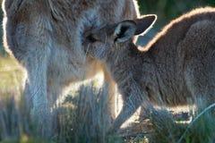 Giganteus Macropus - восточный серый кенгуру в Тасмании в Австралии, острове Марии, Тасмании, стоя с кормя грудью youn Стоковые Фото