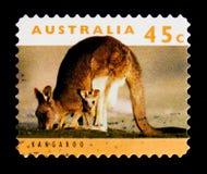 Giganteus oriental de Grey Kangaroo Macropus, serie, vers 1994 Photo stock