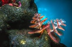 Giganteus Spirobranchus, черви рождественской елки стоковое изображение rf